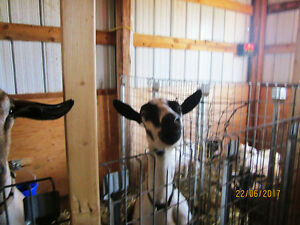 Goats and Laying Hens For Sale