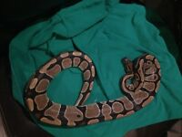 Breeding size ball python