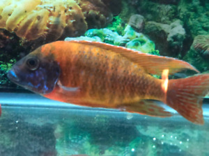 Large Cichlid Fish