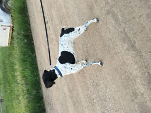 Male German short haired pointer