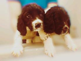 ‼️BOTH ON HOLD‼️2 Left KC REG Springer spaniel puppies
