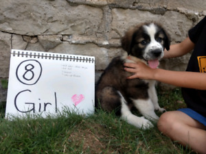 St Bernard/Bernese-Great Pyrenees puppies