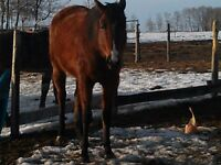 Reg'd Thoroughbred mare 5 yrs. old