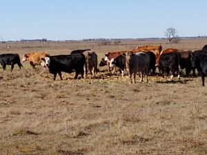 Bred Cow Dispersal, Hfr and Pairs