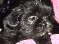 Gorgeous Shih tzu puppies ready 5th September