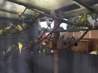 Male budgies and pairs of zebra finches