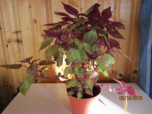 Frutescens Purple Red Plant