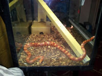 Female corn snake + vivarium + basking lamp