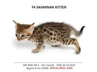 SAVANNAH KITTENS – ONE TIME OFFER – Very Low Price!