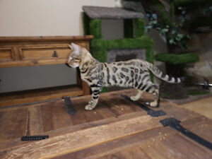 male bengal kitten, unaltered