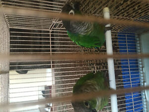 2 GREEN CHEEK CONURE WITH CAGE