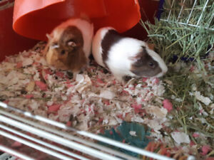 2 female Guinea pigs with full setup, food and more.