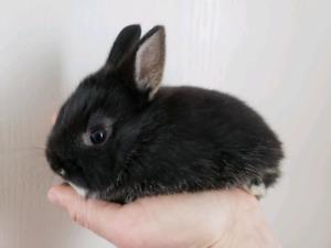Baby Netherland Dwarf Bunnies