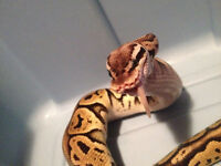 Female Het Red Pastel Axanthic Ball Python