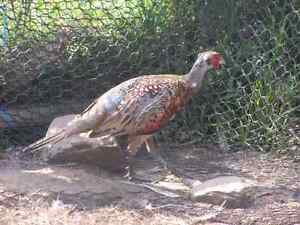 Male ringneck pheasant for sale