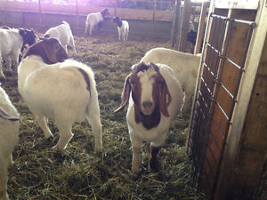 Boer Goats for Meat