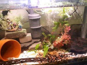 Full shrimp tank set up with shrimp and plecos $150obo