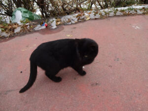 Older black female kitten left