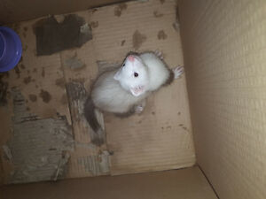 10 week old Lilac Ferret (Female) for sale with Cage