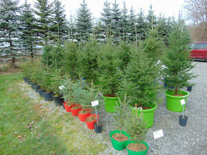 Potted White Pine Trees Kijiji Free Classifieds In