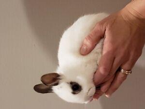Dwarf Baby Bunnies- Netherland