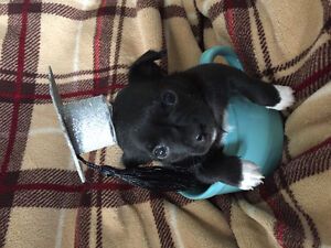 Adorable min-pin/chihuahua puppies for sale