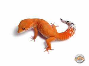 selling 3 leopard geckos for 175