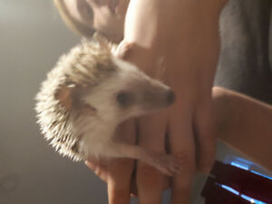 Female hedgehog 1yr old