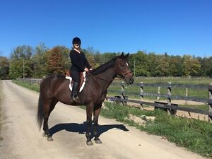THOROUGHBRED AVAILABLE FOR PART-BOARD NEAR HAMILTON