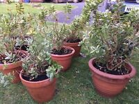 6 planted shrubs for sale.