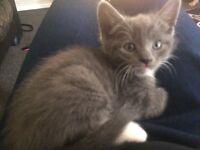Gorgeous grey kitten