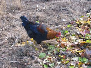 5 FREE SPENT HENS & ROOSTERS - FREE $5.00 & $10.00 - Salmon Arm