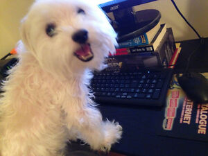 Adorable Male Maltese Needs a Happy and Loving Family