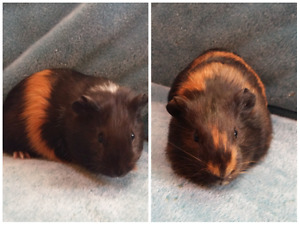 GUINEA PIGS READY FOR NEW HOMES