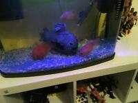 Three parrot fish for sale