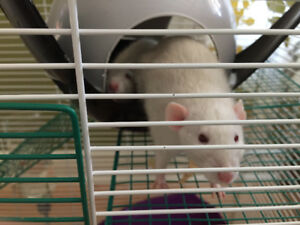 FREE rats with or without cage
