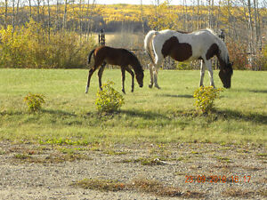 REG. P. BRED ARABIAN BAY TOBIANO WITH COLT-REDUCED