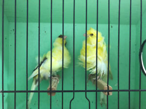 Cobal and mahogany canaries for sale