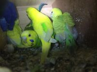 Pair of budgies with babies for sale