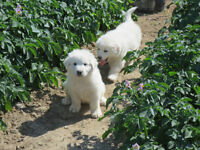 Great Pyrenees Puppies for sale  -  Born May 13 , 2015