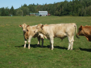 Nice beef calves for sale