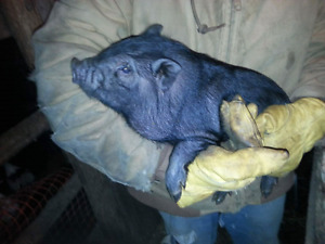 Two male pot bellied pigs