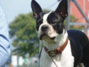 je recherce boston terrier male
