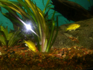 Electric Yellow Labs fish