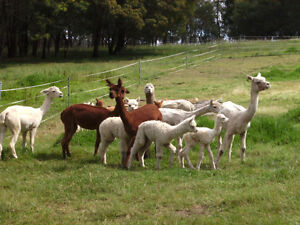 Alpacas for sale as pets, lawn mowers or herd guards Kurrajong Heights Hawkesbury Area Preview