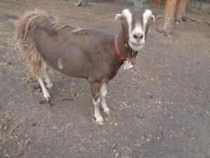Goats and Rabbits For Sale