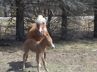 Pony mare with mini mule filly