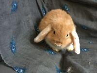 Baby purebred mini lop rabbits.