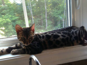 Bengal cat : reserved now your kitten Gatineau Ottawa / Gatineau Area image 6