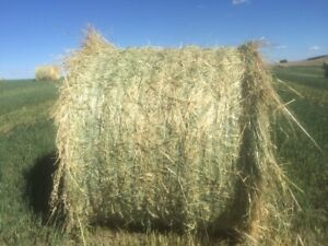 Excellent Green Feed Bales for Sale